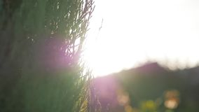 The light shines through the branches of a cypress tree.autumn sun. The light shines through the branches of a cypress tree stock video footage