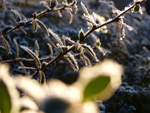 Light shines through frozen leaves Royalty Free Stock Image