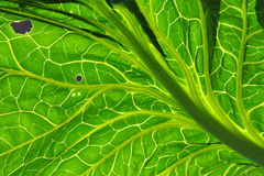 Kale leaf with backlighting Stock Photos