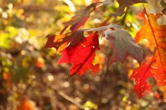 Light shining through fall leaves blurred backgound. Bright ight shining through fall leaves against a  blurred backgound Stock Images