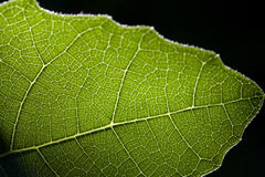 Light Shining Through Green Fig Leaf Closeup Stock Photos