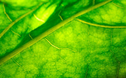 Light shining through the leaf Royalty Free Stock Image