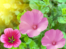 Light shining on pink flowers Royalty Free Stock Image
