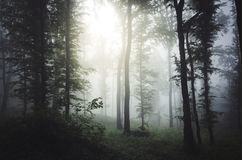 Light shining through trees in mysterious forest with fog Royalty Free Stock Images