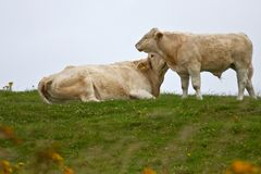 Light skinned cow and her calf Stock Images