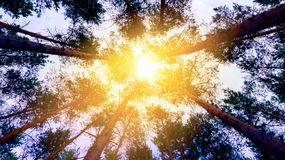 Light from sky . Religion background . Forest with sunlight . The beautiful abstract background nature and sunrise . Bright artistic sunlight in forest royalty free stock image