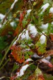 Light snow clinging to red and green spotted autumn oak leaves. Vertical aspect Stock Image