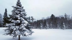 Light Snow Fall with Large Snow Covered Spruce stock video