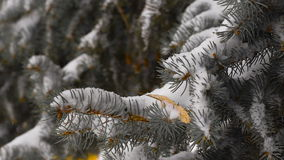 Light snowfall. Snow Covered Pine Tree Branches stock footage