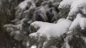 Light snowfall. Snow Covered Pine Tree Branches. Close Up stock video footage
