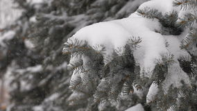 Light snowfall. Snow Covered Pine Tree Branches stock video footage