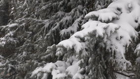 Light snowfall. Snow Covered Pine Tree Branches. Close Up stock footage
