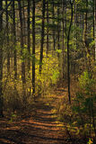 Light streaming into Fall Forest royalty free stock photography