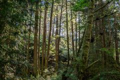 Light streaming through trees in a rainforest royalty free stock image