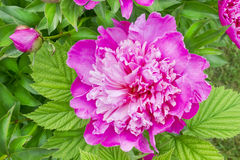 Light from the summer pink peony stock photo