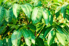 Many green leaves on tree with light from sun Royalty Free Stock Photo