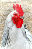 Light Sussex Chicken Rooster Head with Red Crest. Light Sussex chicken male rooster cock with red crest head and black neck feather detail in a farm backyard Stock Image