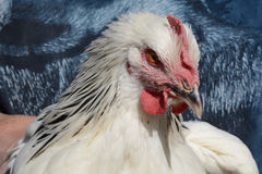 Light Sussex Rooster Stock Image