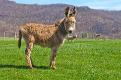 Light Tan Donkey. Lightly colored tan or brown donkey on a farm in West Virginia near Seneca Rocks royalty free stock photography