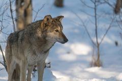 A Timber Wolf in the Perfect Morning Light stock photography