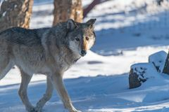 A Timber Wolf Strolling Through the Snowy Forest stock image
