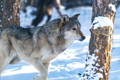 A Timber Wolf Strolling Through the Snowy Forest stock photos