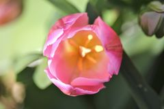 Light-tipped tulip Stock Photos