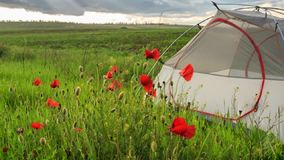 Light travel tent stands on blooming windy spring field with red poppies. Light travel tent stands on blooming spring field with red poppies and green grass stock video