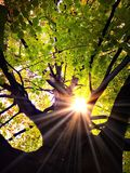 Light in a Tree. Bright sun in a beech tree Royalty Free Stock Images