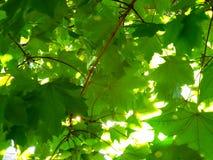Light through tree leaves. Sun light through maple tree leaves Royalty Free Stock Image