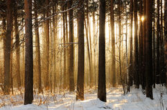 Light through trees. Soft sunlight through trees in winter wood Stock Photo