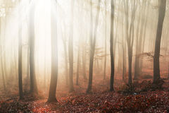 Light through the trees in foggy forest Stock Image