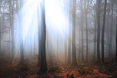 Light through the trees in foggy forest Stock Photography