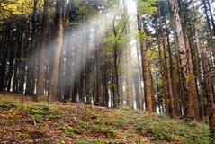 Light trough the trees Stock Image