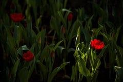 Light on tulip. Light on Red tulip stock photos