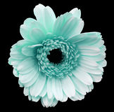 Light turquoise gerbera flower, black isolated background with clipping path.   Closeup.  no shadows.  For design. Stock Images