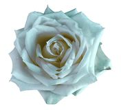 Light turquoise watercolor roses flower on an isolated white background. Closeup. For design. Nature stock images