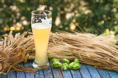 Light unfiltered beer, hops, malt, background. Large glass of light unfiltered beer, malt, hops, barley ears standing on an old wooden table dyeing, natural Royalty Free Stock Photo