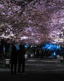 Light up of cherry blossoms tree in Tsuruga Castle Aizu castle Royalty Free Stock Image