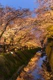 Light up turns sakura trees into golden colour Royalty Free Stock Image