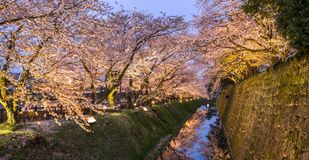 Light up turns sakura trees into golden colour in panoramic view Stock Image