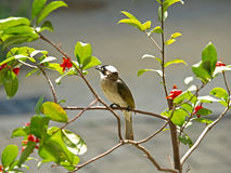 Light-vented Bulbul Stock Images
