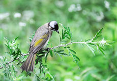 Light-vented Bulbul. On the tree Stock Photo