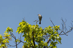 Light-vented Bulbul bird on a tree. Light-vented Bulbul(Chinese Bulbul) bird on a tree with blue sky Royalty Free Stock Photos