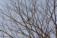 Light-vented Bulbul bird on the withered tree branches Royalty Free Stock Image