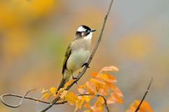 Light-vented bulbul. A light-vented bulbul is sitting on a branch in autumn Stock Photography