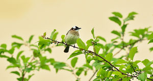 A Light-vented bulbul royalty free stock images