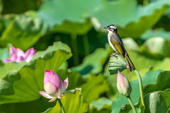 Light-vented Bulbul. A Light-vented Bulbul standing on the lotus in Taipa Houses-Museum of Macau Stock Image