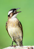 Light-vented Bulbul. A Light-vented Bulbul standing on the stone in Taipa Houses-Museum of Macau Stock Photography