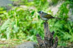 Light-vented Bulbul Royalty Free Stock Images